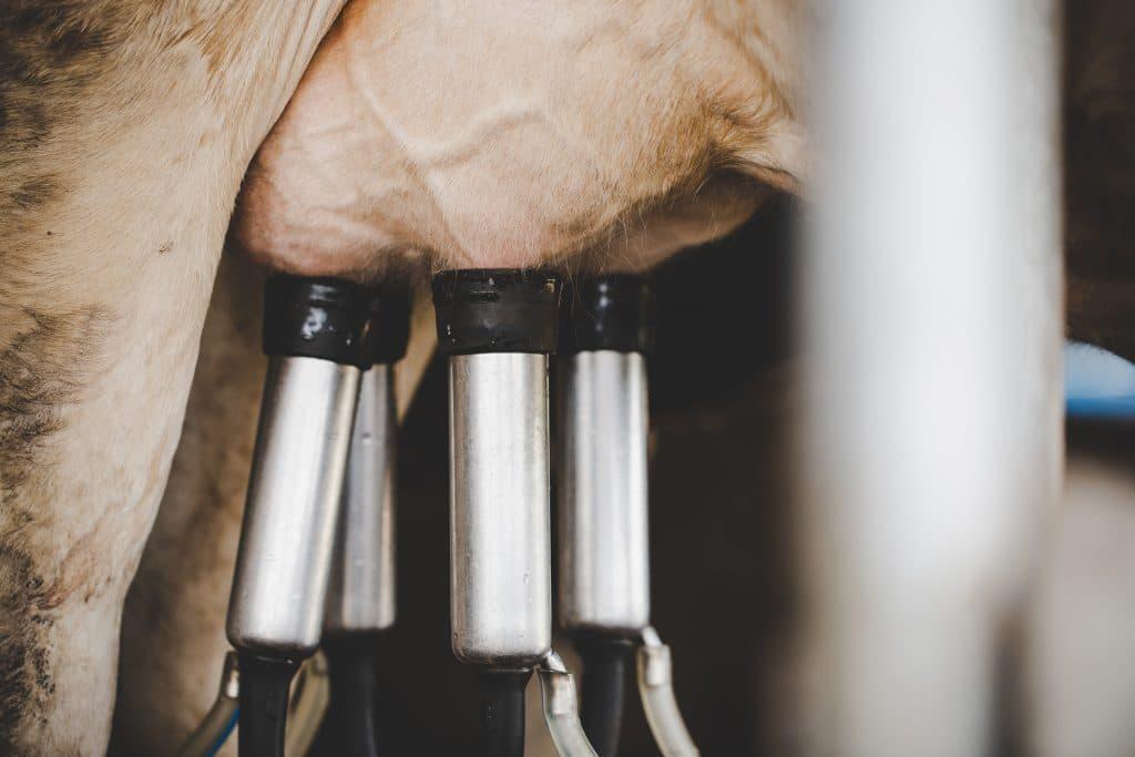 precíziós szarvasmarha gépek felügylete táv fejés tejelő