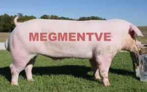 Van megoldás a sertéspestis megelőzésére!