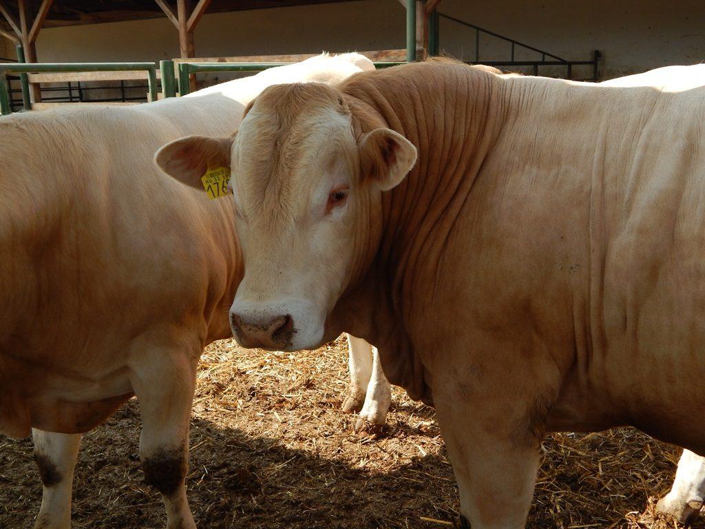 Blonde d'Aquitaine cow hőstressz marha tejelő húsmarha